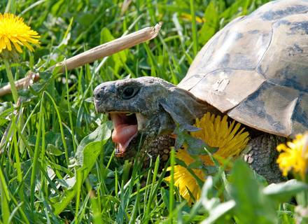 Landschildkröten suchen ein gutes Zuhause.